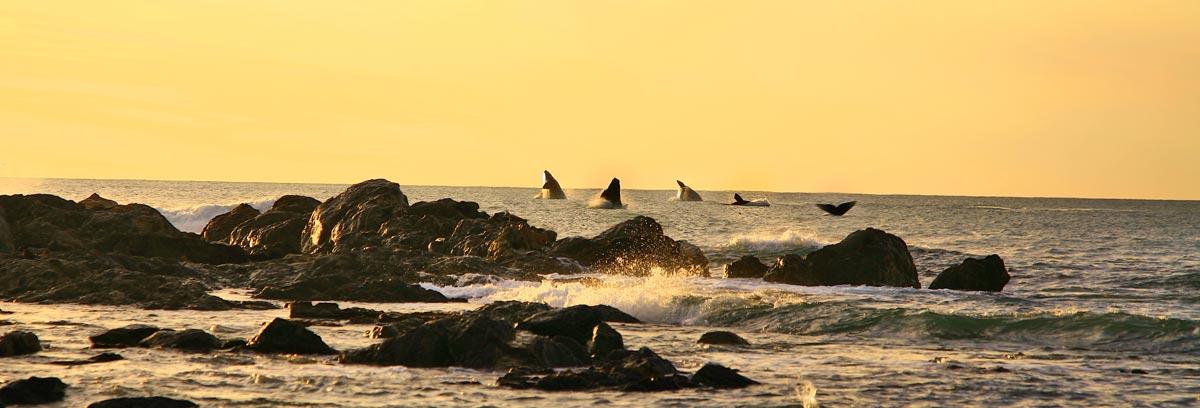 Strandloper-whales